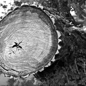 fallen tree | Fuji 23mm F2 Asph (X100) <br> Click image for more details, Click <b>X</b> on top right of image to close