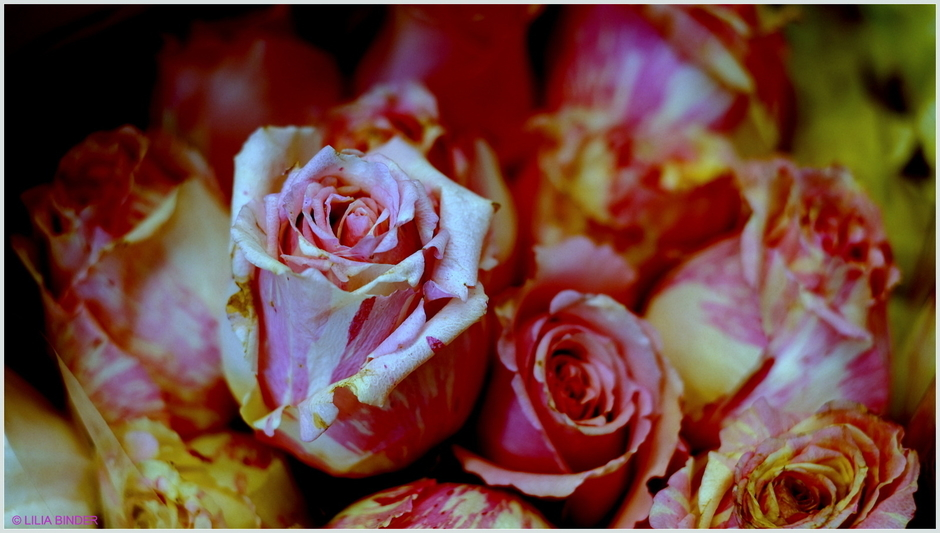 variegated roses | Fuji 35mm f/1.4 <br> Click image for more details, Click <b>X</b> on top right of image to close