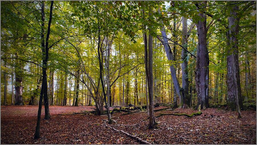 Beech Woods in October | XF16-55MMF2.8 R LM WR <br> Click image for more details, Click <b>X</b> on top right of image to close